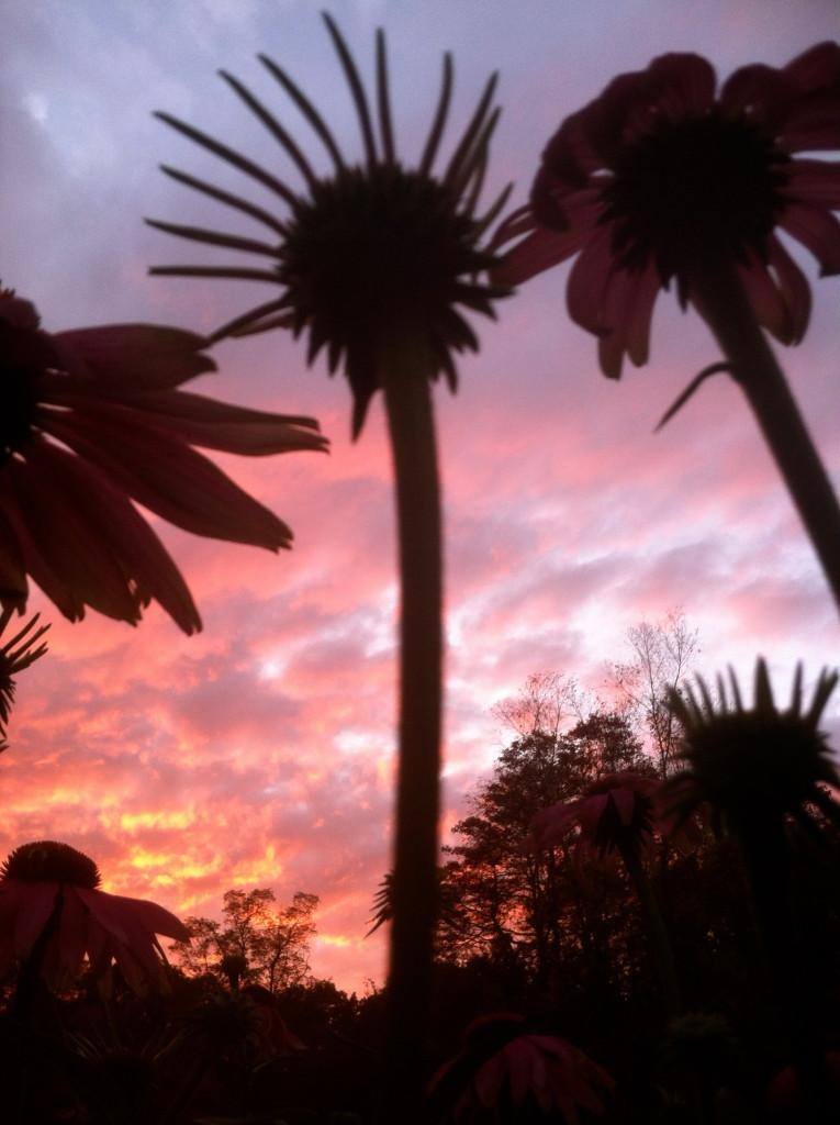 echinacea sunset