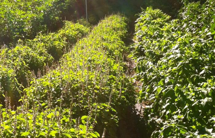 tulsi crop